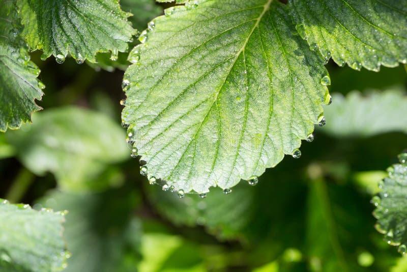 Gotas do orvalho em uma folha verde imagens de stock royalty free