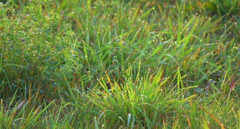 Gotas do orvalho na grama verde, faísca nos raios do sol de aumentação A imagem foi tomada no alvorecer foto de stock