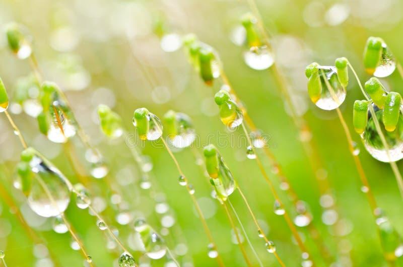 Gotas frescas del musgo y del agua en naturaleza verde imagen de archivo libre de regalías