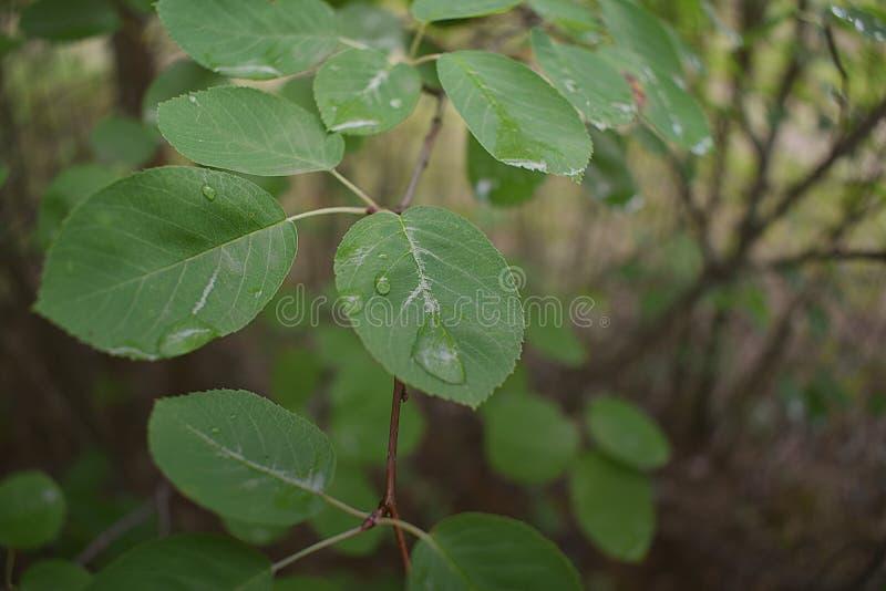 Gotas nas folhas após a chuva fotografia de stock royalty free