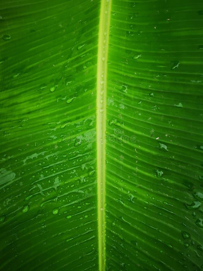 Gotas no fundo verde da folha da banana fotografia de stock royalty free