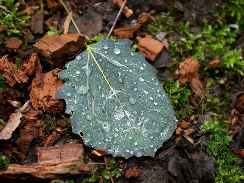 Gotas Shinning da chuva na folha caída do álamo tremedor Detalhe de diamantes pequenos imagem de stock
