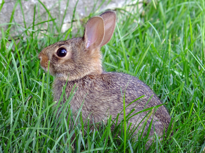 Gotcha!. Cautious young rabbit nestled among the blades of grass, hiding stock images