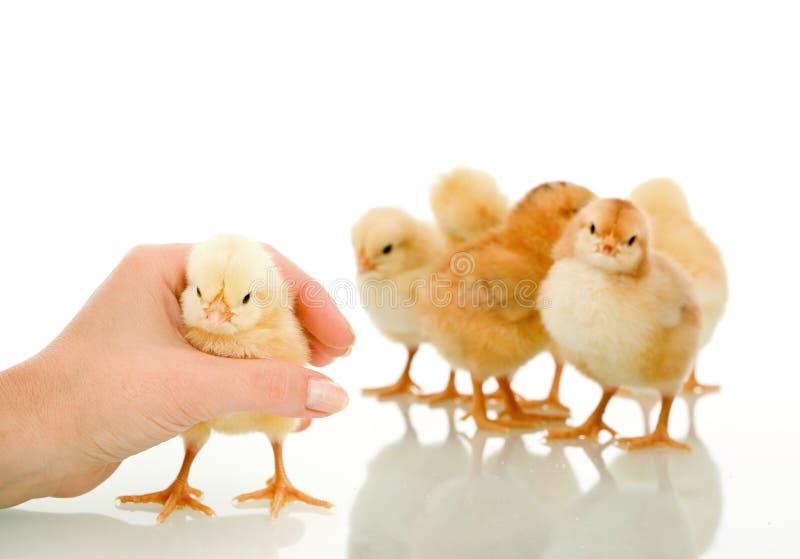 Gotcha - i womans passano il pollo lanuginoso piccolo di cattura fotografia stock libera da diritti