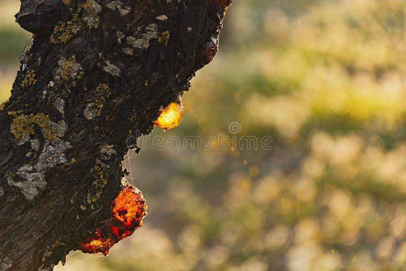 Gotejamento da resina de uma árvore de amêndoa fotos de stock