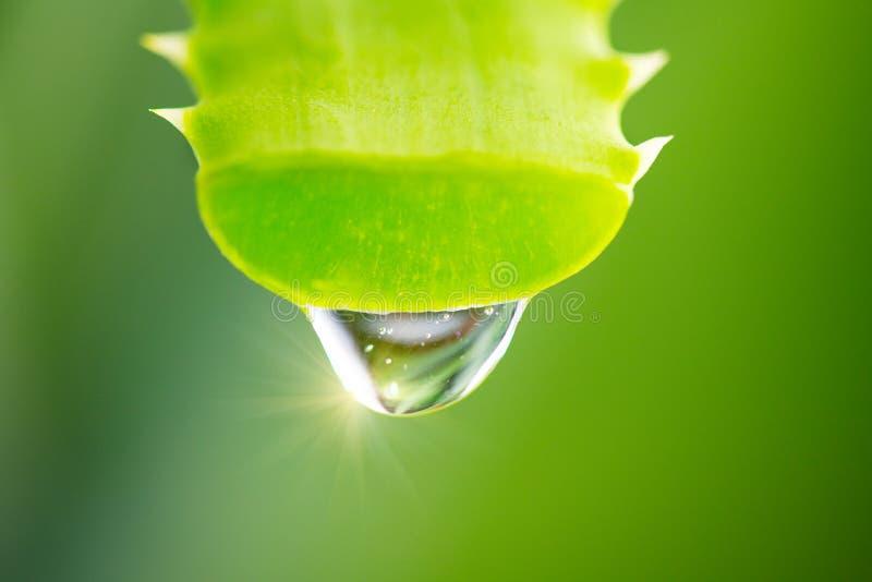 Gotejamento do gel de Vera do alo?s do close up verde da folha do alo?s Conceito de Skincare Gota do tiro macro do suco fresco de imagens de stock
