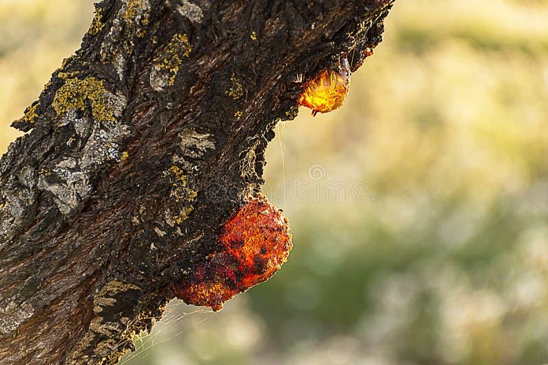 Goteo de la resina de un árbol de almendra imagen de archivo libre de regalías