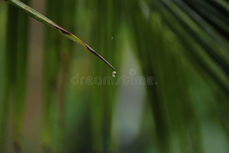 Goteo del agua de una sola hoja verde de un árbol de coco imagen de archivo libre de regalías