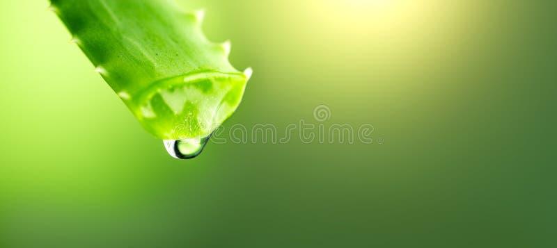 Goteo del gel de Vera del áloe del primer verde de la hoja del áloe Concepto de Skincare Descenso del tiro macro del jugo fresco  fotos de archivo libres de regalías