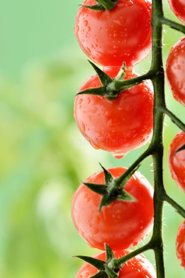 Gotitas de agua en la planta de tomate fotos de archivo