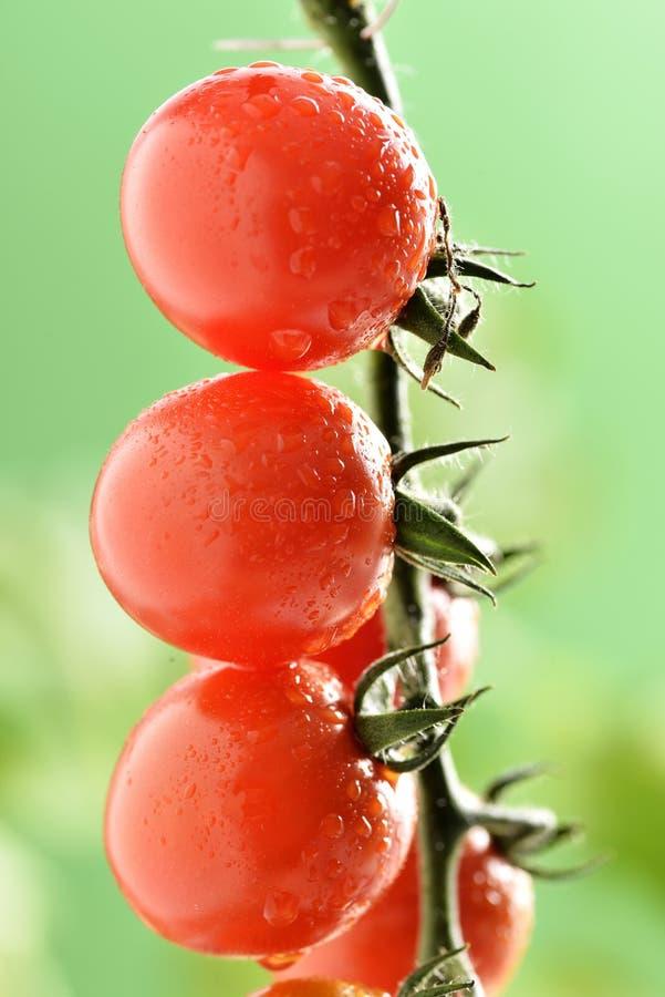Gotitas de agua en la planta de tomate fotografía de archivo