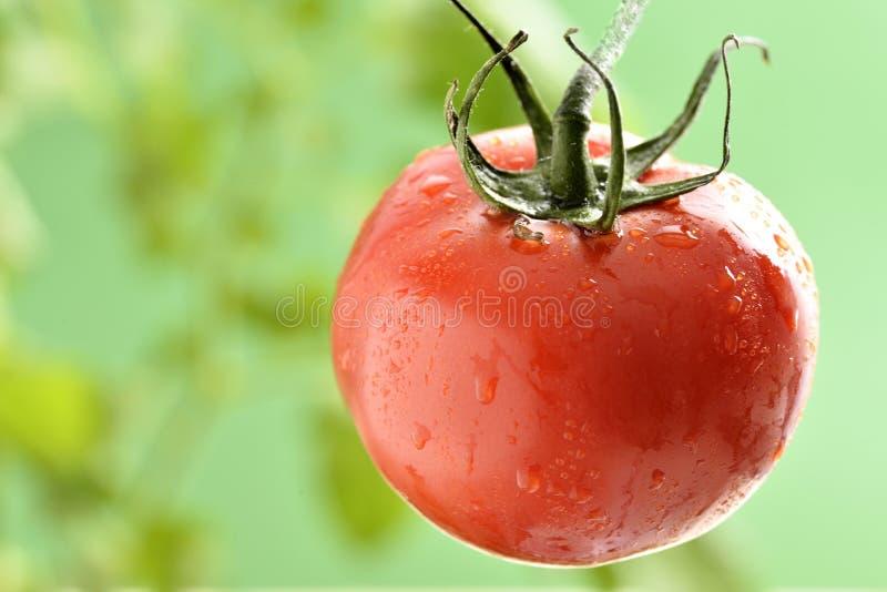 Gotitas de agua en la planta de tomate foto de archivo libre de regalías