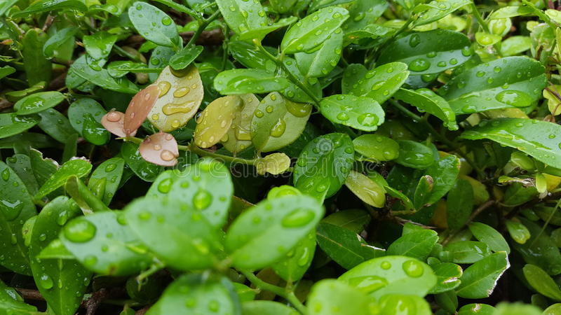 Gotitas de agua en las hojas imagen de archivo