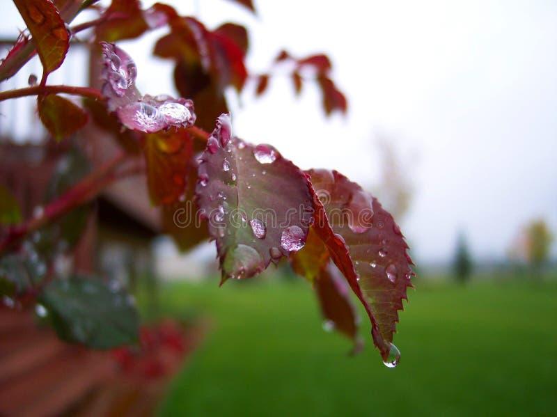 Gotitas de agua en las hojas de Rose imagenes de archivo