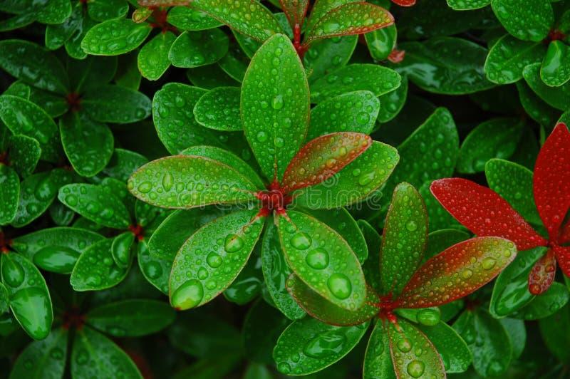 Gotitas de agua en las hojas frescas imágenes de archivo libres de regalías