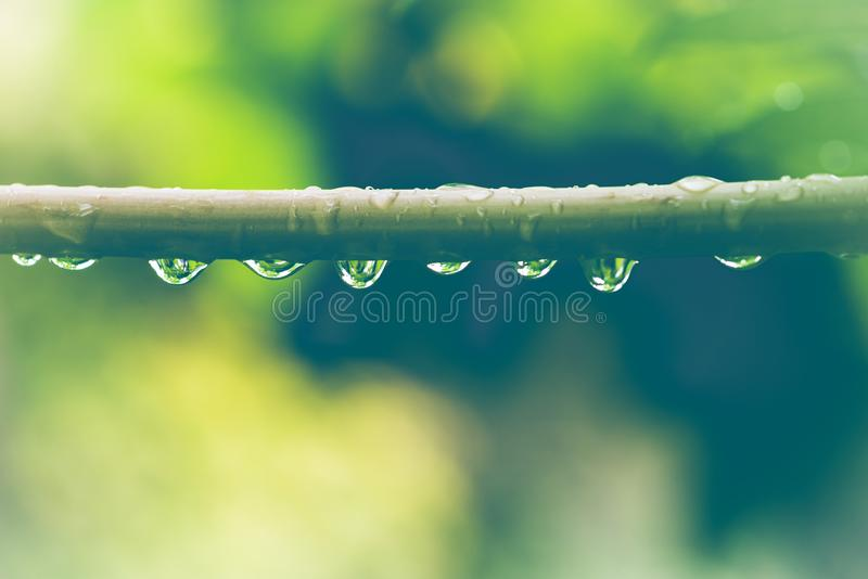 Gotitas de agua en las hojas Papaya en el tallo imágenes de archivo libres de regalías