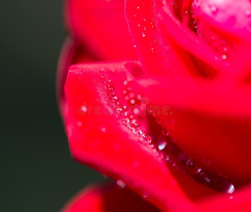 Gotitas de agua en una rosa roja foto de archivo