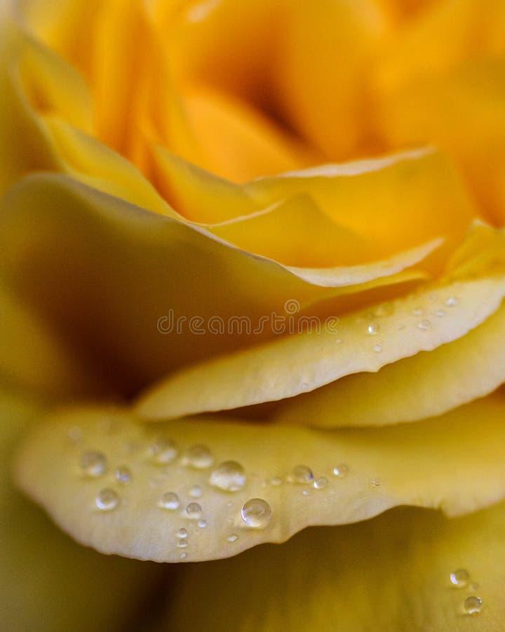 Gotitas de agua en una rosa imagen de archivo