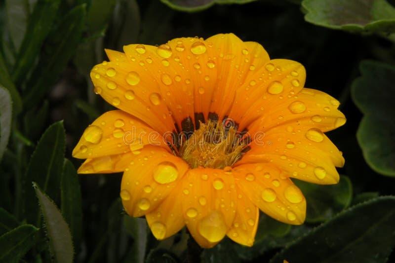 Gotitas en la flor imagen de archivo