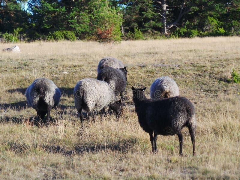 Gotlandic sheep stock images