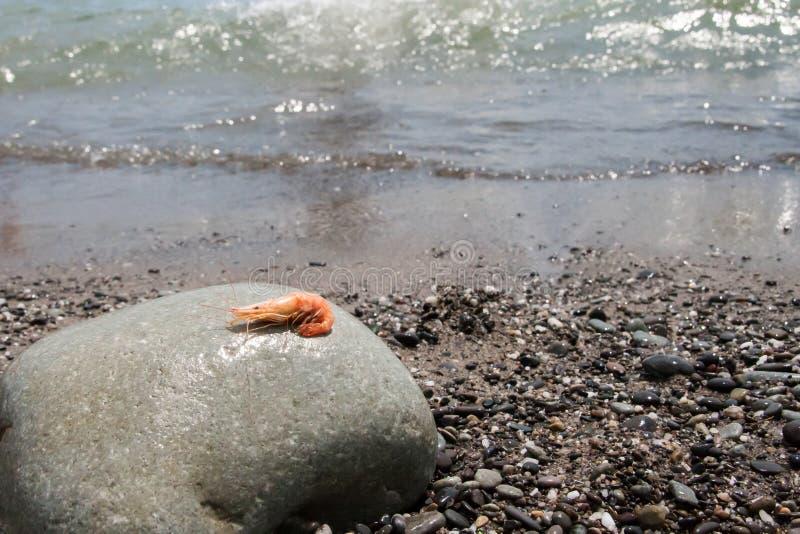 Gotowana garnela na otoczaku morzem obraz royalty free