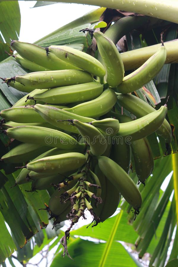 Gotowy fo zbiera banan uprawy w Nigeria obraz stock
