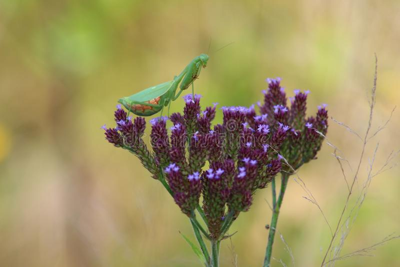 Gottesanbeterin auf Blume stockbild