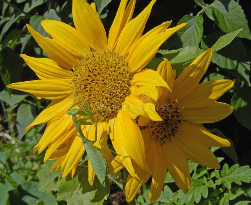 Gottesanbeterin auf Sonnenblume lizenzfreies stockfoto