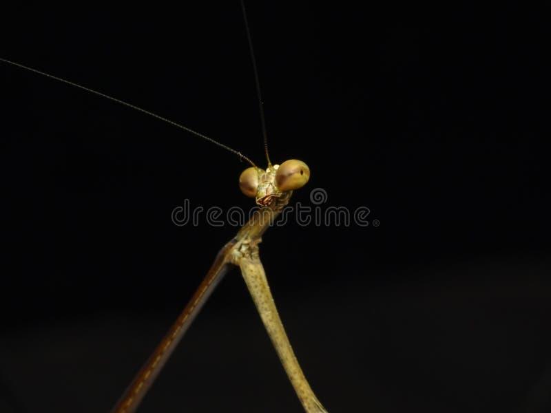 Gottesanbeterininsektenporträt, euchomenella heteroptera stockbild
