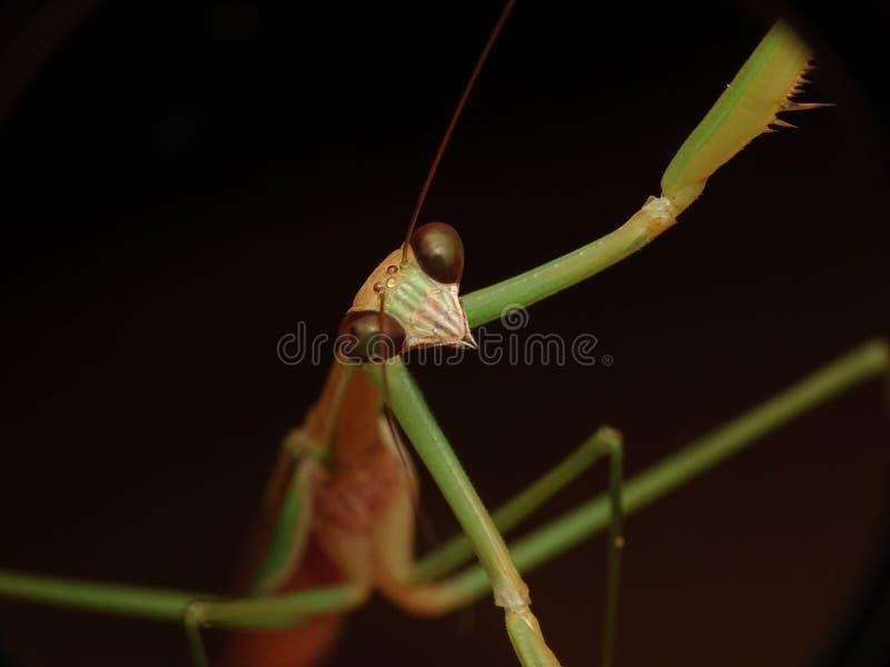 Gottesanbeterininsektenporträt, Tenodera-Mann lizenzfreie stockbilder