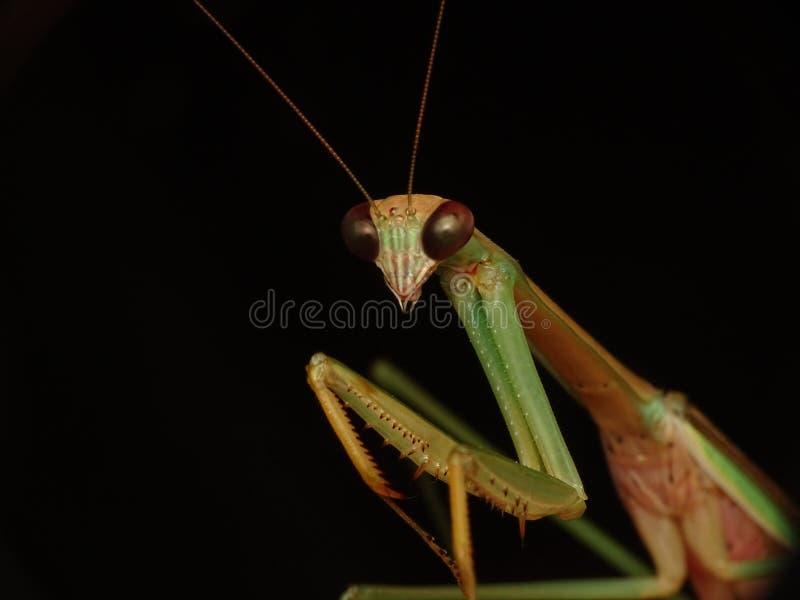 Gottesanbeterininsektenporträt, Tenodera-Mann lizenzfreie stockfotos