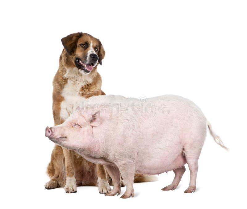 Gottingen minipig en hond tegen witte achtergrond royalty-vrije stock fotografie