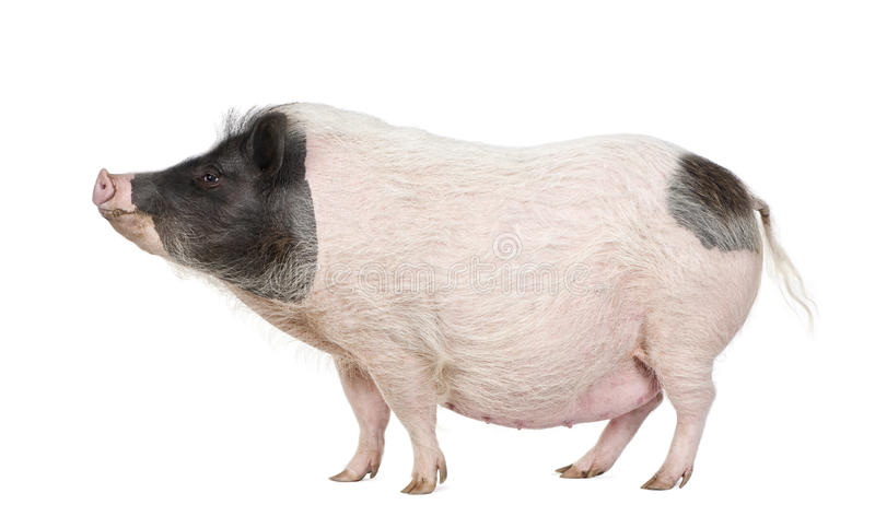 Gottingen minipig in front of a white background stock images