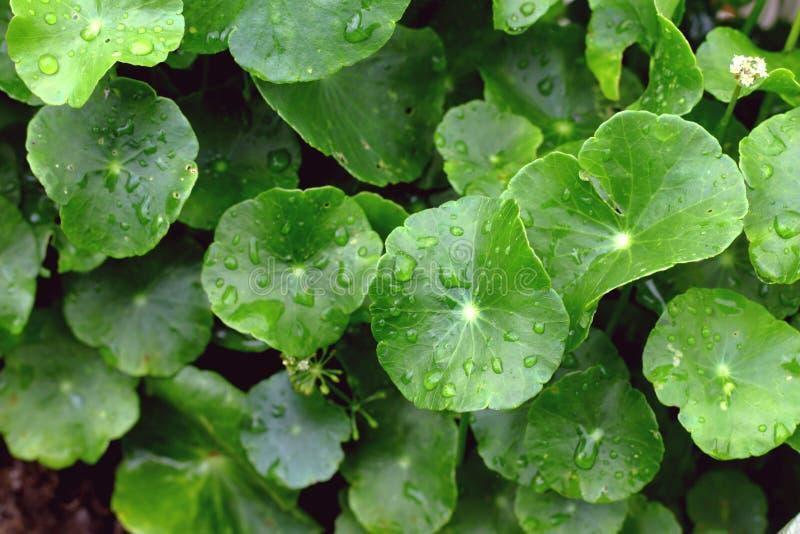 Gotu可拉树,亚洲Pennywort, asiatica的Centella,绿色离开 免版税库存图片