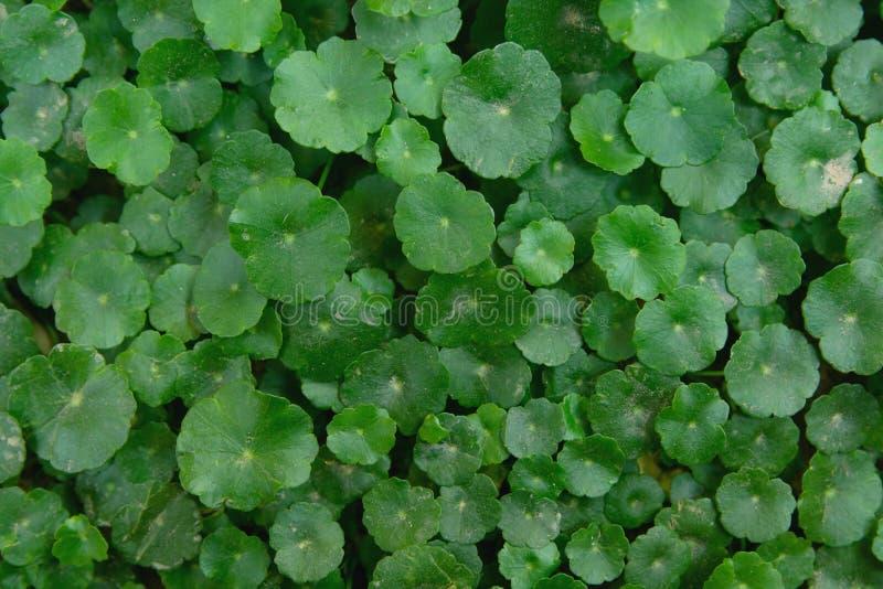 Gotu可拉树,asiatica的Centella,亚洲pennywort,印度pennywort叶子绿色背景 免版税库存图片