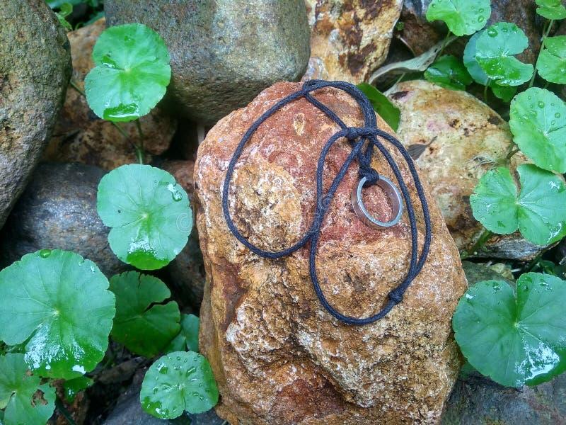 Gotu在切片增长岩石的可拉树植物 库存照片