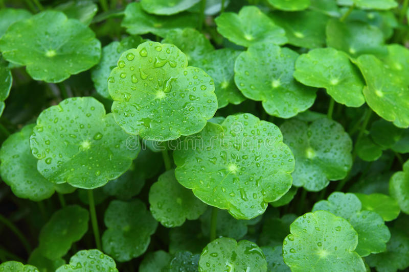 Download Gotu Kola Royalty Free Stock Images - Image: 18648719