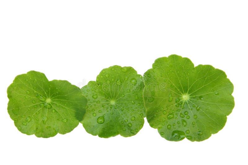 Download Gotu kola stock photo. Image of herb, medicine, hydrocotyl - 19114388