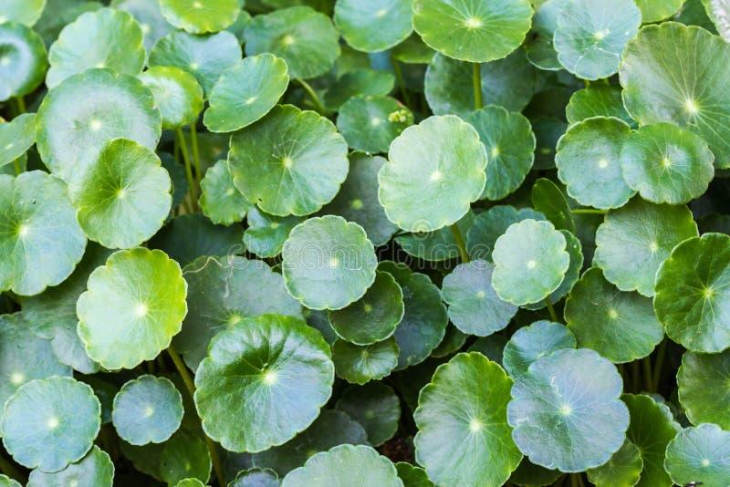 Gotu kola, Asiatic pennywort, Indian pennywort, green leaf background, Tiger Herbal stock images