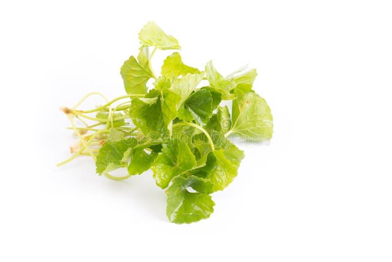 Gotu kola green leaves stock photo