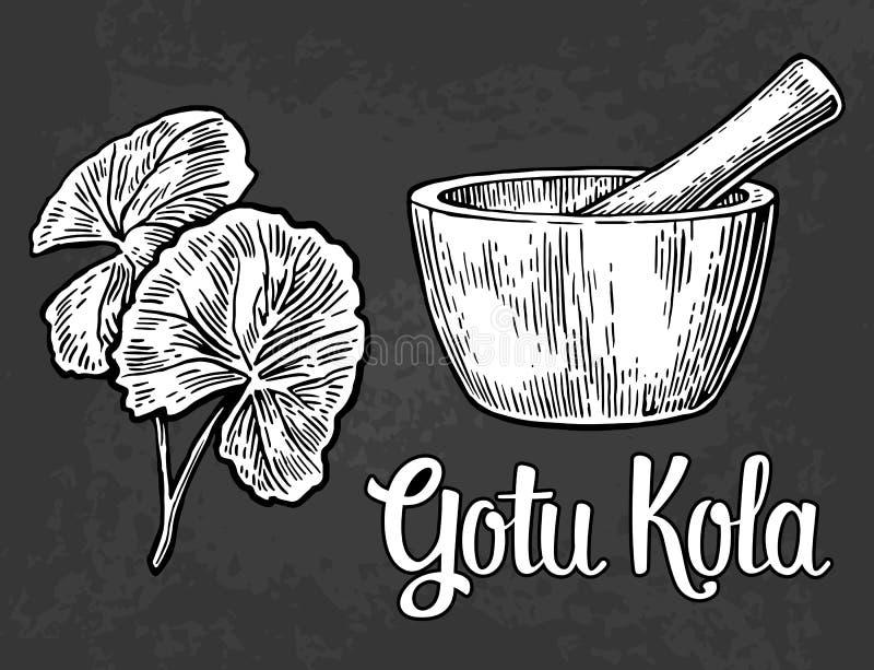 Gotu-Kolabaum - Heilpflanze Gravierte Illustration des Vektors Weinlese stock abbildung