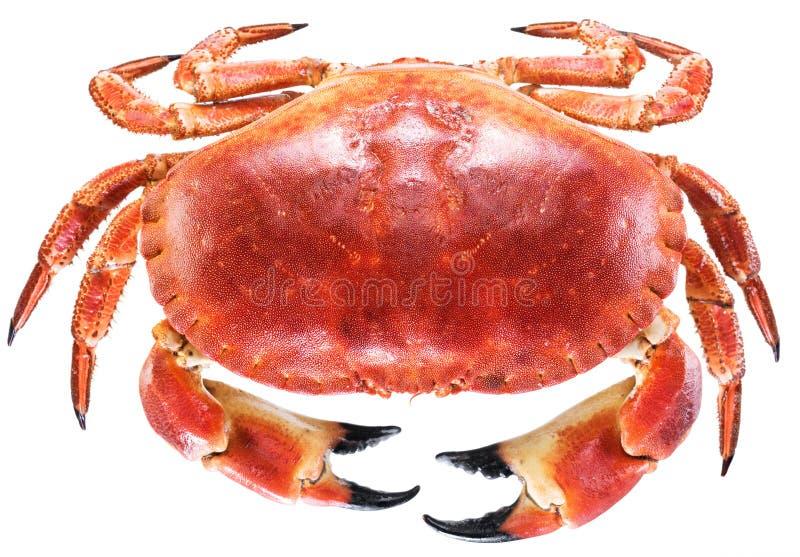 Gotujący brown krab lub jadalny krab zdjęcia stock
