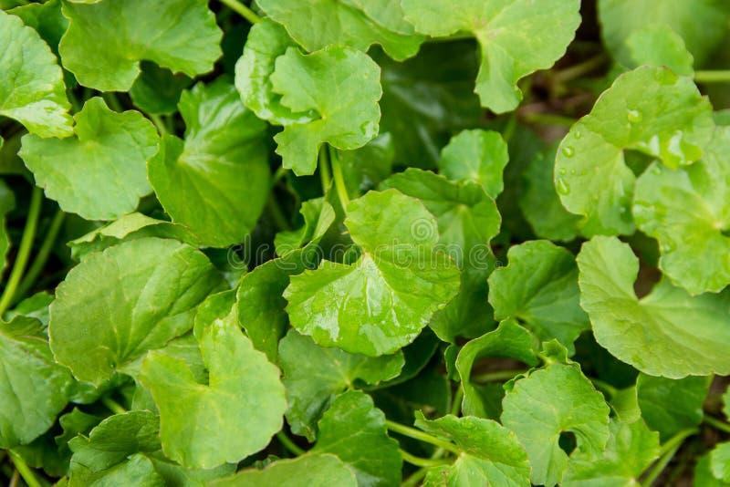 Gotukola, Aziatische pennywort, Indische groene backgr van het pennywortblad stock afbeeldingen