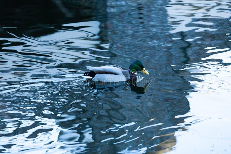 Gouda, Holanda sul/Pa?ses Baixos - 20 de janeiro de 2019: pato masculino que nada na ?gua fria da lagoa do parque da cidade fotografia de stock