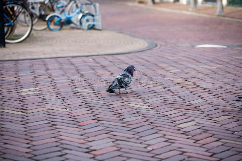 Gouda, South Holland/the Netherlands - February 9 2019: pigeon walking alone over the street of the city center in Gouda stock photos