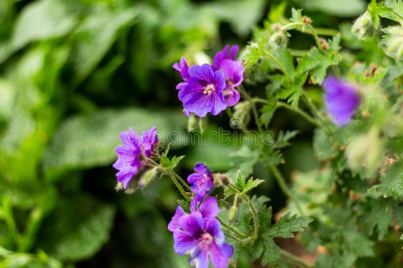 Gouda, South Holland/The Netherlands - May 19 2018: Purple flowers in Gouda city park shot using a shallow depth of field. During a spring afternoon walk stock image