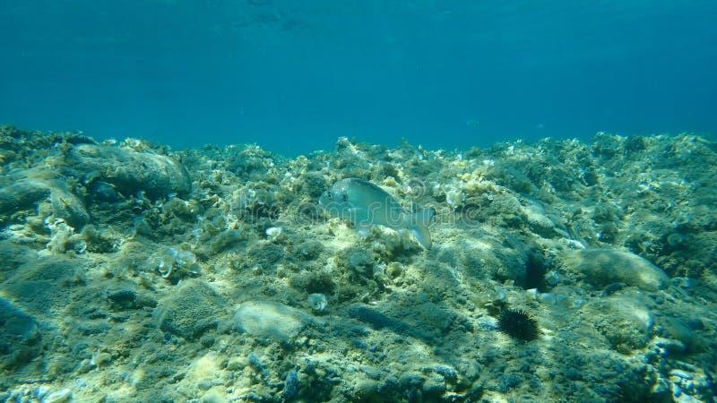 goudbrasem, Sparus aurata, onderzee royalty-vrije stock afbeeldingen