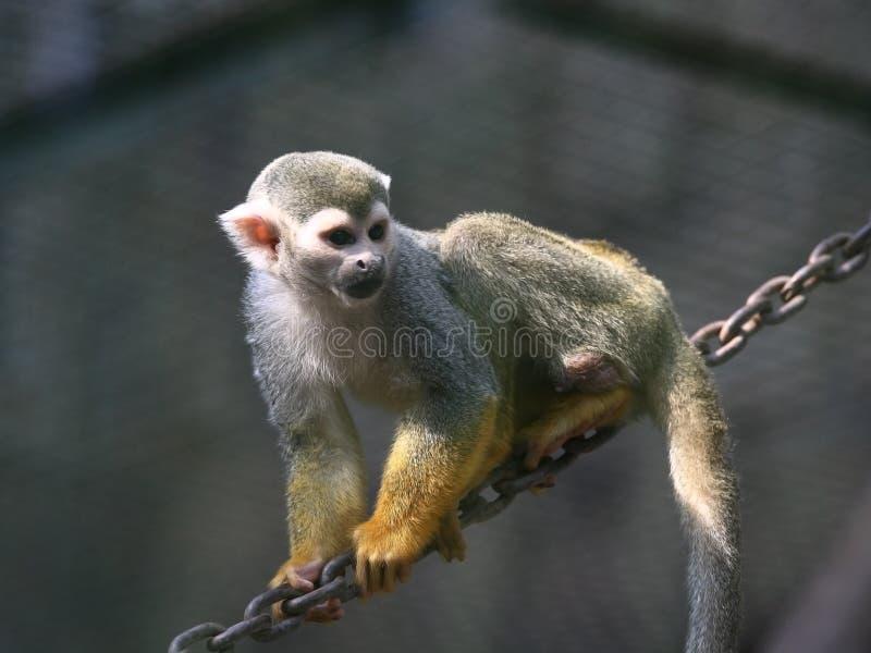 Gouden aap stock foto