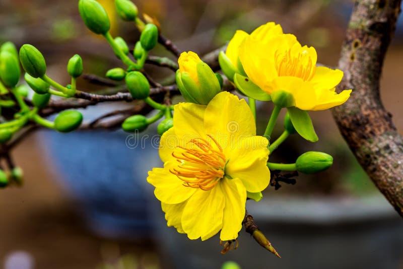 Gouden abrikozenbloesems stock foto's