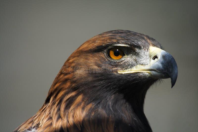 Gouden adelaar stock afbeeldingen